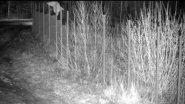 Рысь перепрыгнула сетку через Литовскую границу