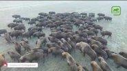 Огромное стадо зубров в дикой природе