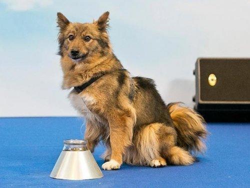 Новая порода собак официально зарегистрирована в России