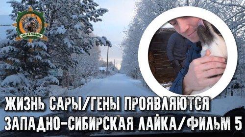 Жизнь Сары/Западно-сибирская лайка/фильм5/Гены проявляются!