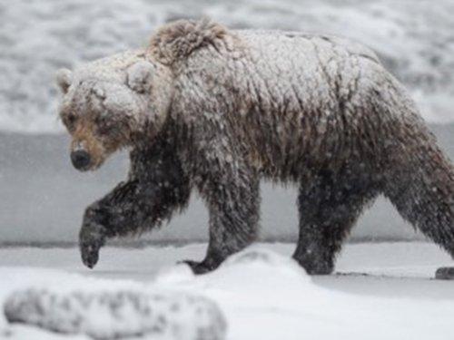 Три роковых медведя. Третий.