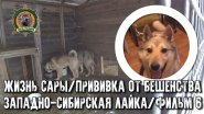 Жизнь Сары/Западно-сибирская лайка/фильм6/Прививаем от бешенства
