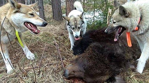 Охота на Медведя с Западносибирской Лайкой ФИЛЬМ ч.5