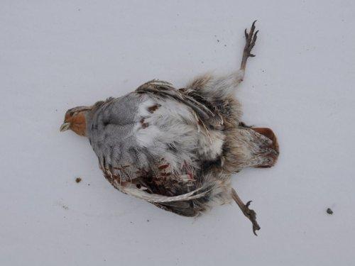 Сексуальные повадки куропаток под воздействием кокаина
