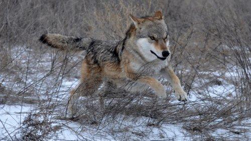 Добыча волка на охоте это большая удача, но не всегда все получается