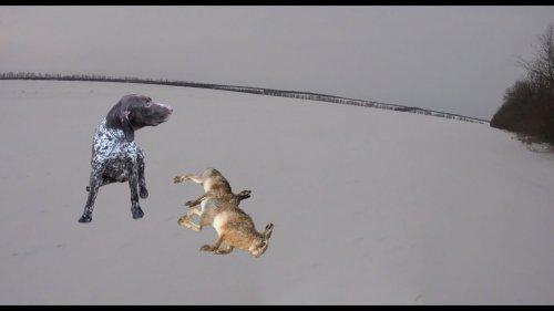 Охота на зайца с курцхааром