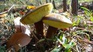 Где собирать грибы. Много польских грибов .Часть 1.
