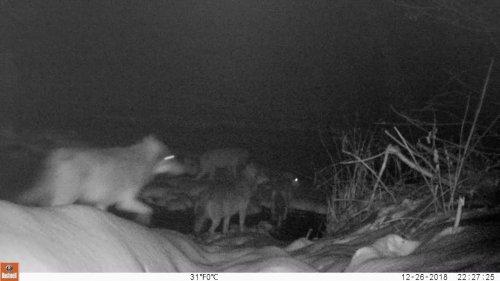 #8 Вести из леса. Волки переходят речку