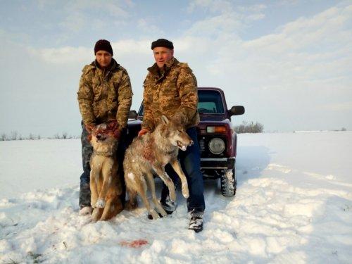 охота на волка зимой