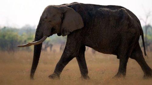 Охота на слона в Зимбабве