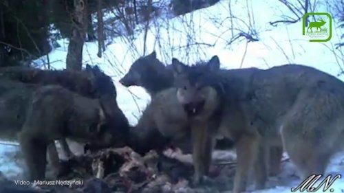 Вести из леса. Волчья стая съела оленя.