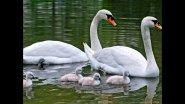 Белые лебеди Лебеди на озере, кормятся