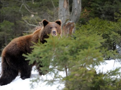 Последний медведь (охота).