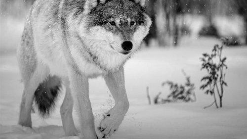Охота на волка в Якутии. Достойный трофей
