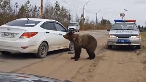 Медведь напал на машину