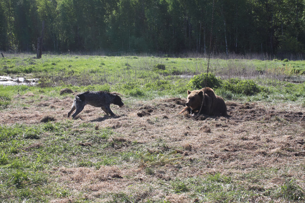 Брайт Гектор III, работа по подсадному медведю.