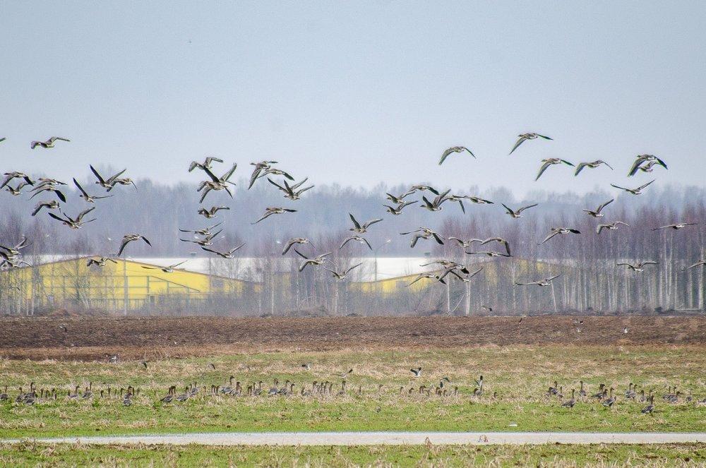 Фото-охота на гуся-2