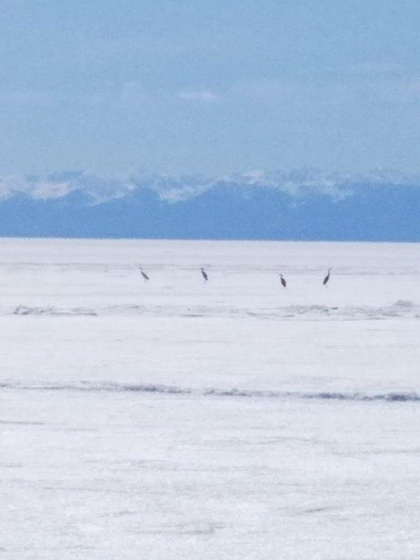 Журавли стерхи на льду Байкала