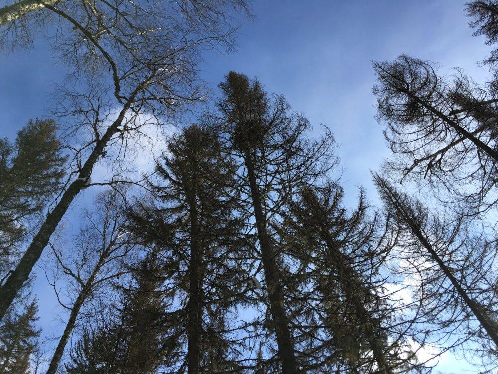 Так выглядит темнохвойный лес после нашествия сибирского шелкопряда