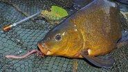 Летняя рыбалка  на поплавочную удочку, Ловля линя