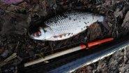 Рыбалка  Ловля плотвы на поплавочную удочку весной