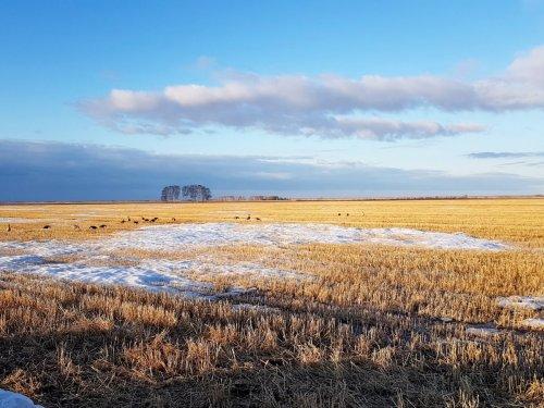 Утро, гуси, поле...