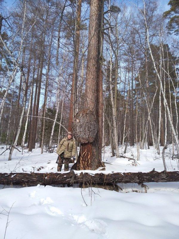 Нарост у дерева, как раковая опухоль