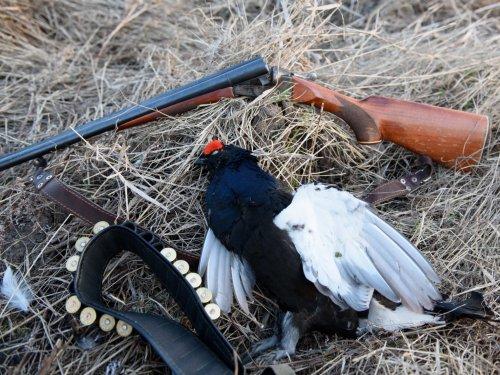 Конец весеннего сезона охоты на тетеревином току.