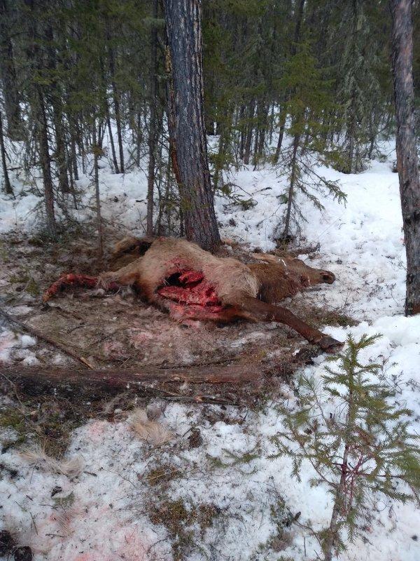 Волки задрали молодого изюбря шильника
