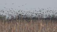 Редкие кадры, 10-30 тысяч гуся  в Сибири перед отлетом