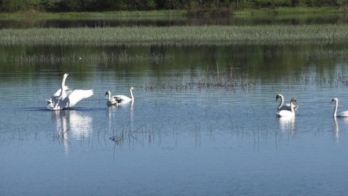 Лебеди остановились в Республике Коми.