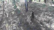 Гнездо вальдшнепа разорила лиса