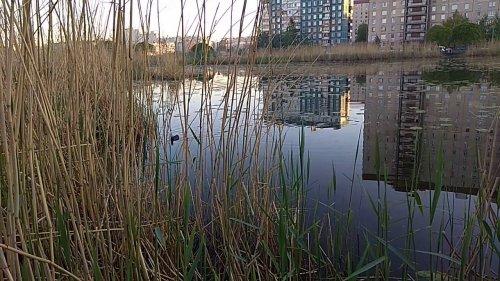 Лысуха на городском пруду