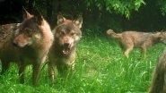Вести из леса. Волки  в объективе фотоловушки