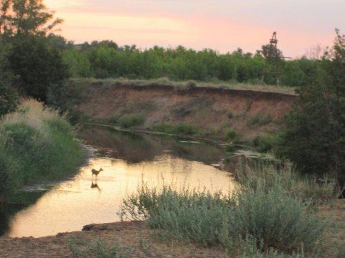Косуля на речке