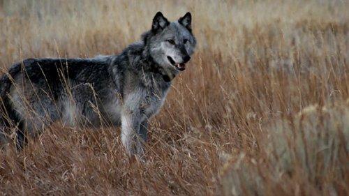 Добыча волка на приваде, попадание в кадре!