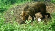 Приманка на медведя