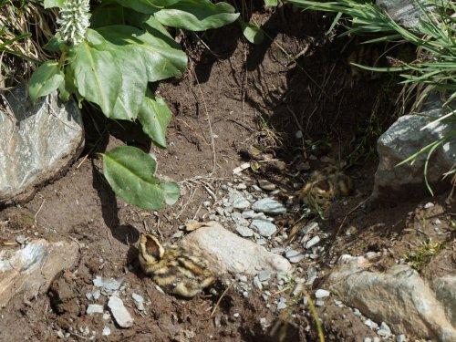 Птенцы куропатки на конной тропе