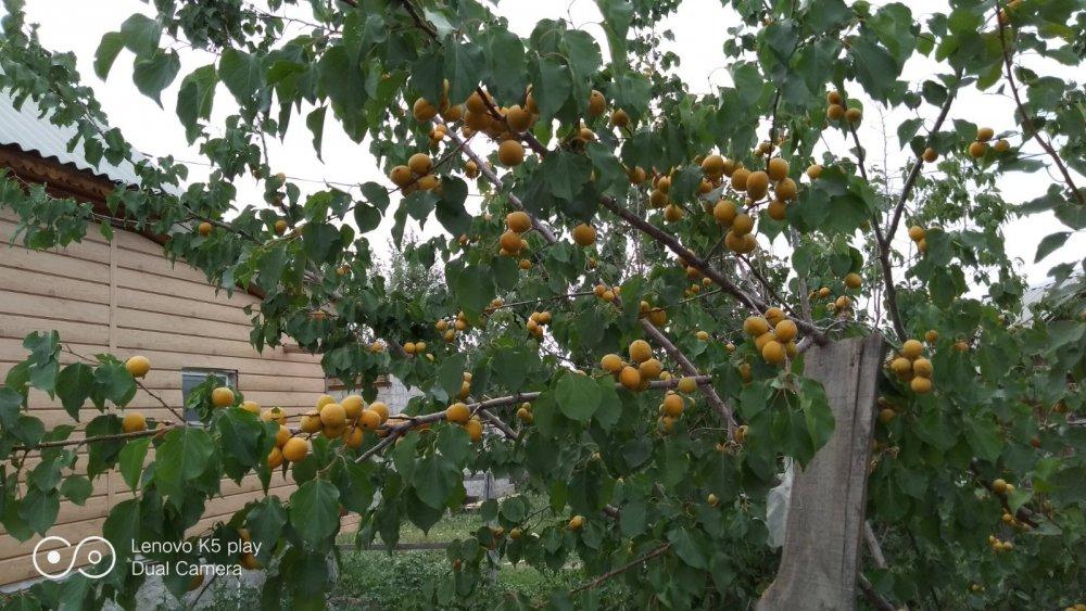 А у нас абрикосы поспели в саду