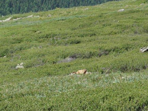 Сурок в Алтайских горах