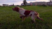 Бретонский Эпоньоль , грация и красота работы , легавой собаки в поле !!!