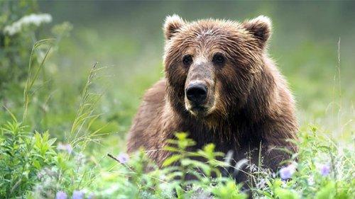 Медведь чуть не сожрал фотоловушку за 22000 рублей