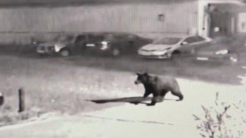 Медведь в г. Сургут 19.08.19