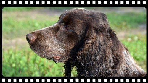 Охота на утку с собакой или шикарная работа по утке спаниеля