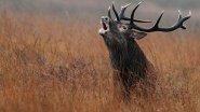 Огромное стадо благородных оленей на реву