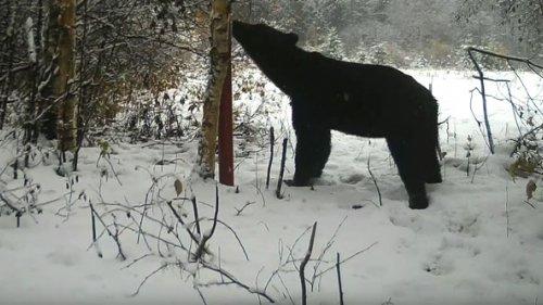 Продолжаем следить за новым медведем