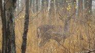 Лесной олень. Период гона