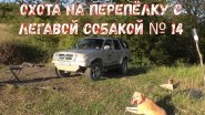 Охота на перепёлку с легавой собакой № 14