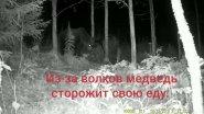 Новый медведь. Медведь и волки