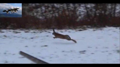 Охота на зайца и лису 2019 (Hare and Fox hunting)